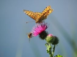 fritillary butterfly on a pink flower