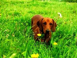 portrait of Dachshund dog in grass