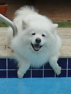 white fluffy samoyed dog