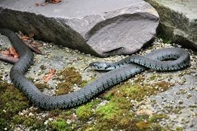 grey non-hazardous snake