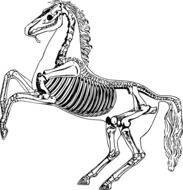 skeleton of a horse drawing