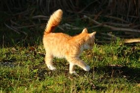 playful young red tabby cat