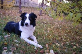 clever dog border collie