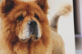 Chow Chow is a breed of dog