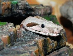 boa constrictor imperator in hiding place
