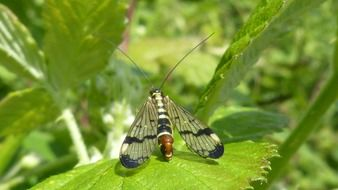Panorpa communis, scorpionfly on leaf