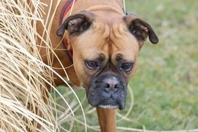 dog breed boxer near dry grass