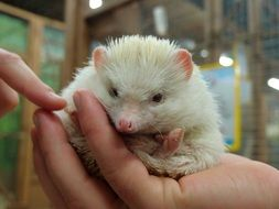 white african hedgehog