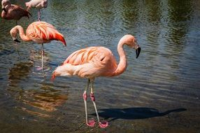 graceful pink flamingos in water
