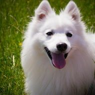 White Smile Fluffy Dog
