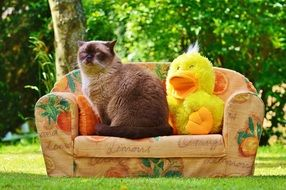 british shorthair Cat sitting on sofa beside duck toy outdoor