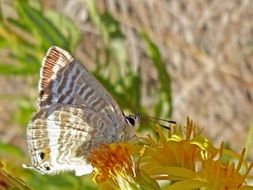 beige butterfly on a bright yellow flower