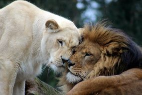 lion and lioness in the wild
