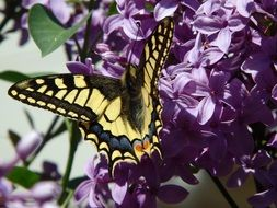 black and yellow butterfly on bright lilac