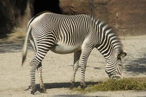 zebra- striped horse
