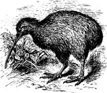 Kiwi, Flightless Bird, illustation