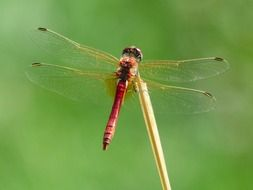 Red Dragonfly Insect filigree macro