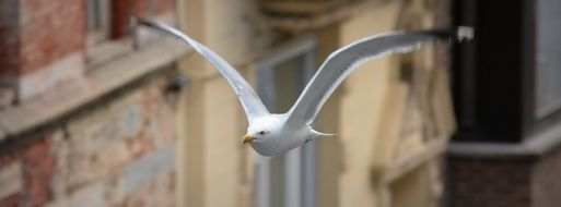 the wingspan of a Seagull