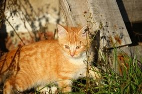 young red tabby cat in evening lights