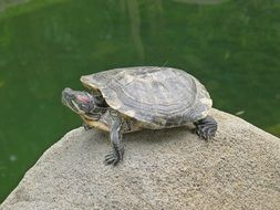 turtle on a stone near the water