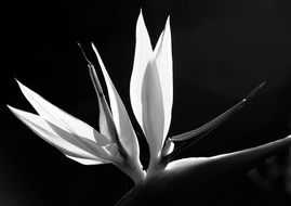Black and white photo of Bird Of Paradise Flower