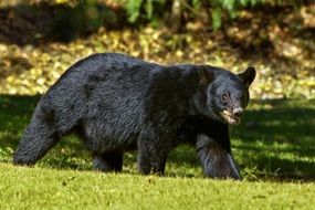 grizzly, Black Bear in wild, usa, Louisiana