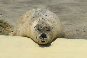 relaxing seal on the coast