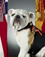 Bulldog is official mascot of Marine Corps