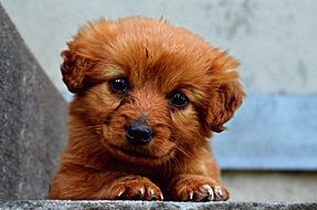 sweet red puppy with cute eyes