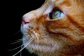 profile portrait of a red cat