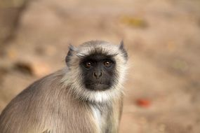 Hanuman Langur in India