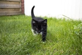 Black and white kitten on the grass