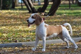 Beagle is a hunting breed of dog