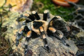 tarantula is a poisonous spider