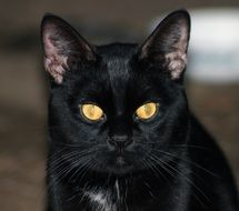 black domestic cat with yellow eyes