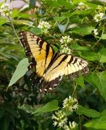 eastern tiger swallowtail in wildlife