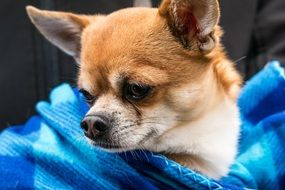 Chihuahua sitting in blue coverlet