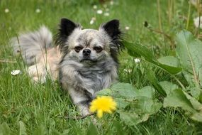 a cute Chihuahua is in the grass