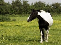 black and white horse on the summer meadow
