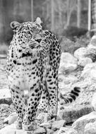 persian leopard in black and white