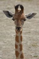 portrait of a giraffe with long neck
