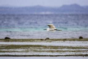 picture of the little egret at the background of the sea