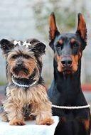 Dog Yorkshire and Terrier Doberman