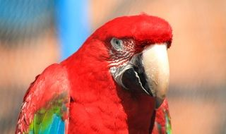 feathered red macaw