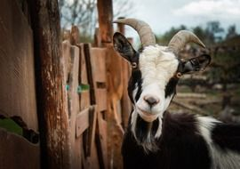 black and white goat stands near a wooden fence