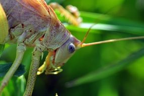 green grasshopper with long whiskers close up