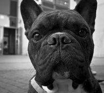 Cute french bulldog portrait