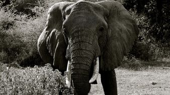 Black and white photo of the elephant in Manarya National Park