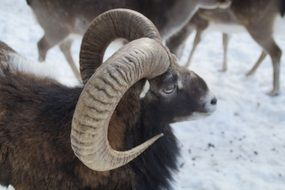 mouflon from the kind of sheep