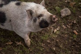 Domestic pig on the farm